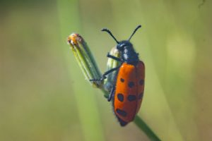small red beetle bug